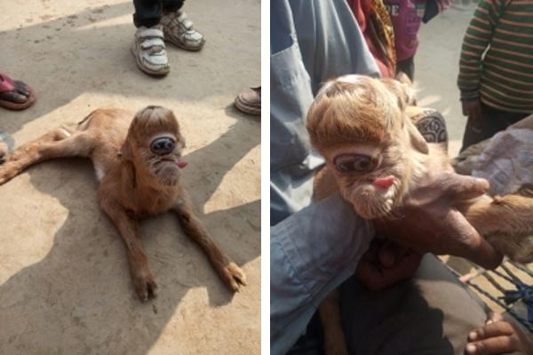 बिजनौर में आकर्षण का केंद्र बना विचित्र बकरी का बच्चा