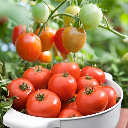 कमाल के 6 गुण-सब्जी ही नहीं,औषधि भी है टमाटर