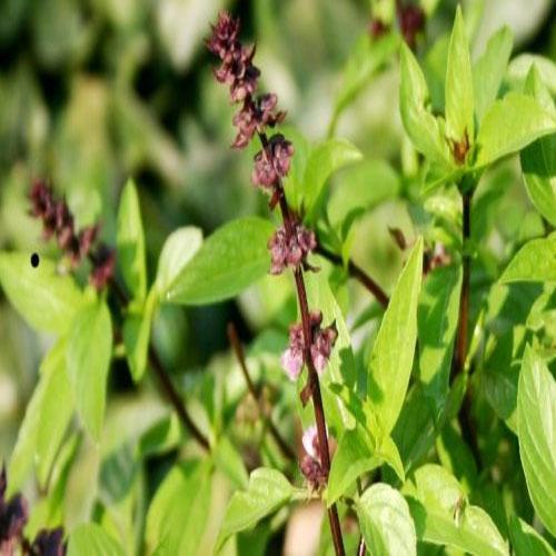 तुलसी के पौधे की देखभाल के लिए 5 टिप्स