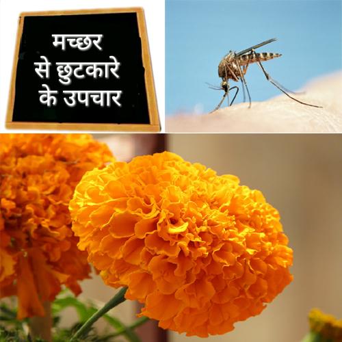 गेंदे के फूल से पाएं मच्छरों से छुटकारा