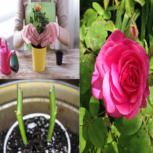 ऐसे महकेगी गुलाब की खुशबू