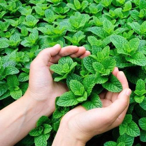 स्वाद, सेहत और सौंदर्य के लिए संजीवनी बूटी पुदीना...