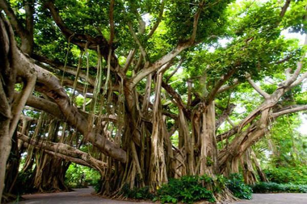 भूमि,  भवन, संपत्ति संबंधी कार्यों में रूकावट आ रही है तो वट वृक्ष की...