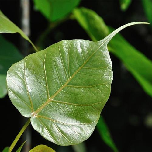 पीपल के पेड के कई लाभ