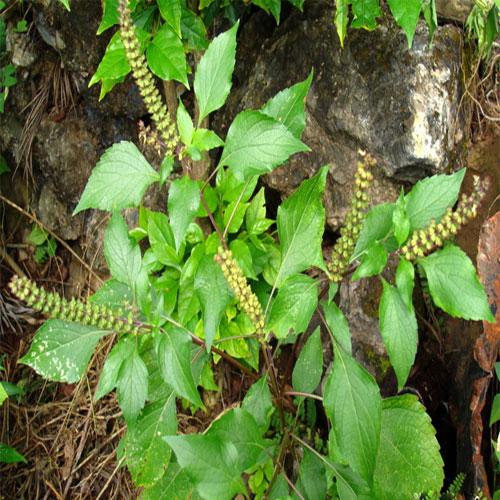 तुलसी के पौधे की देखभाल के लिए आजमाएं...