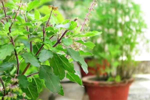 तुलसी के पौधे को घर में इस दिशा में लगाएं...